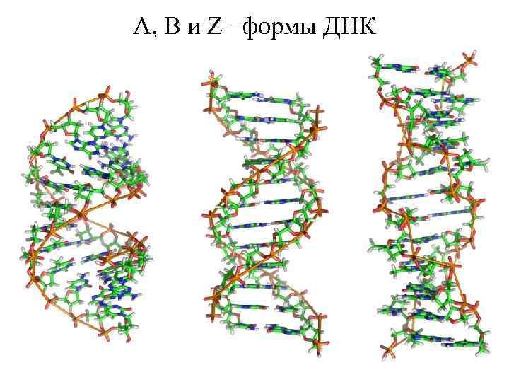 A, B и Z –формы ДНК