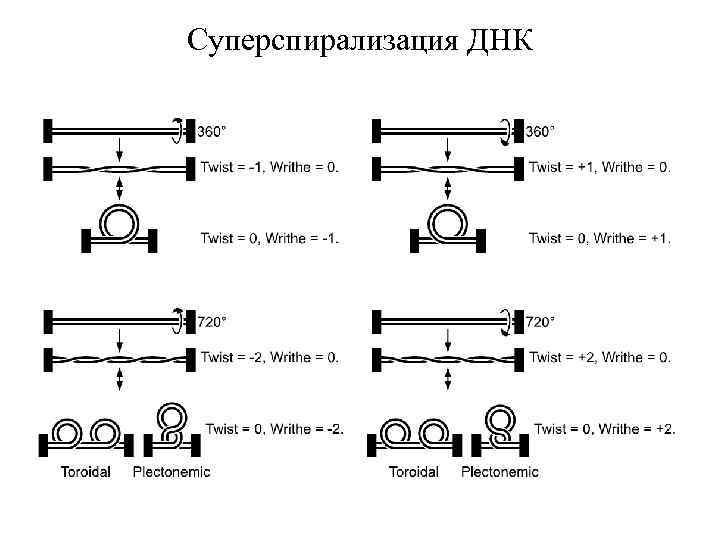 Суперспирализация ДНК