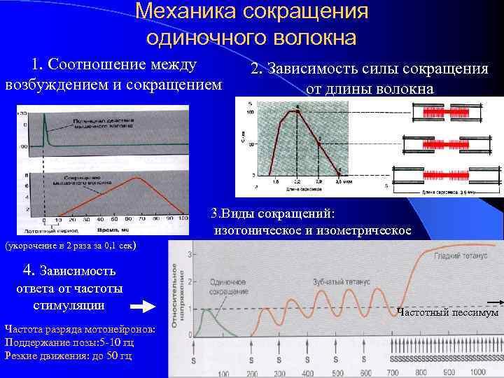 Механика сокращения одиночного волокна 1. Соотношение между возбуждением и сокращением 2. Зависимость силы сокращения