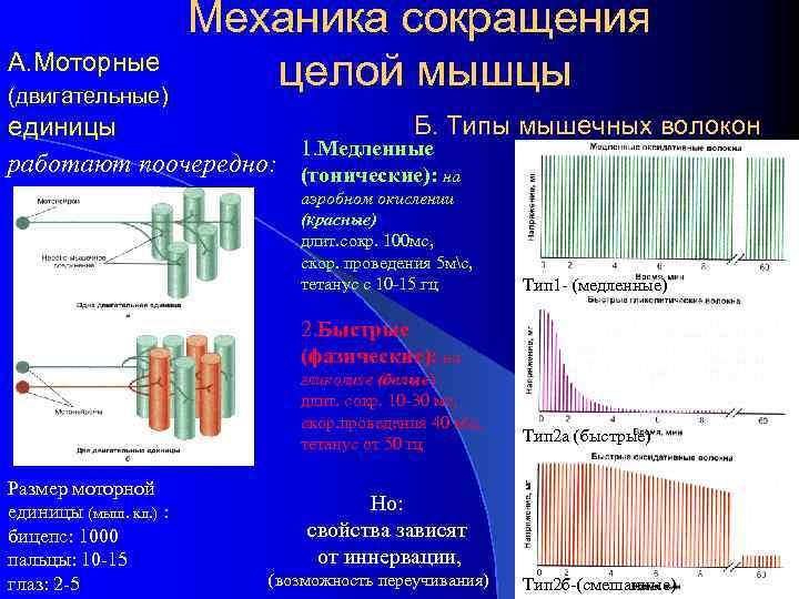 А. Моторные (двигательные) Механика сокращения целой мышцы Б. Типы мышечных волокон единицы 1. Медленные