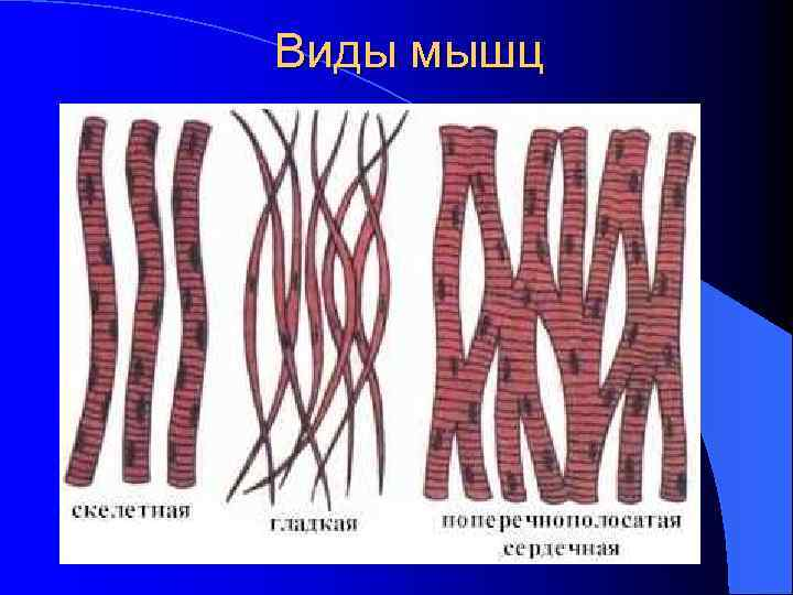 Виды мышц