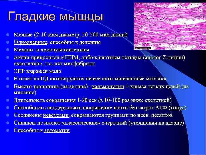 Гладкие мышцы l l l Мелкие (2 -10 мкм диаметр, 50 -500 мкм длина)