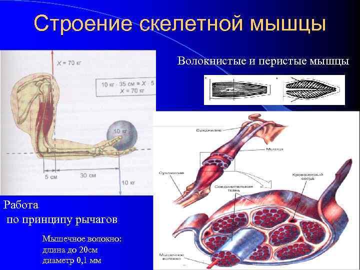 Строение скелетной мышцы Волокнистые и перистые мышцы Работа по принципу рычагов Мышечное волокно: длина