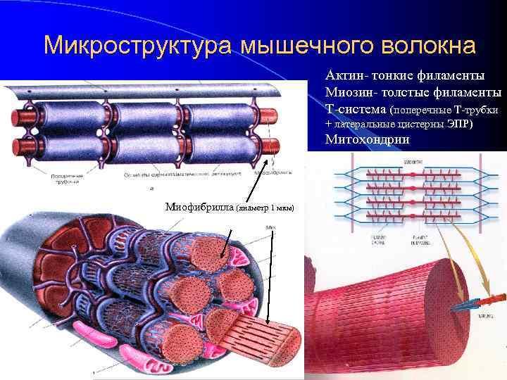 Микроструктура мышечного волокна Актин- тонкие филаменты Миозин- толстые филаменты Т-система (поперечные Т-трубки + латеральные
