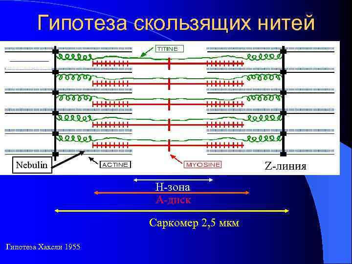 Гипотеза скользящих нитей Nebulin Z-линия Н-зона А-диск Саркомер 2, 5 мкм Гипотеза Хаксли 1955