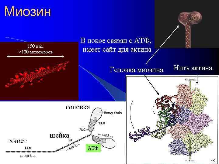 Миозин В покое связан с АТФ, имеет сайт для актина 150 нм, >100 мономеров
