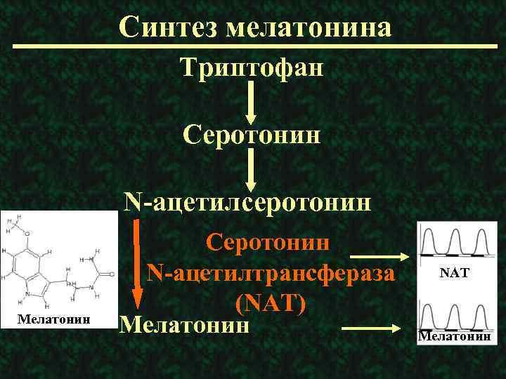 Синтез мелатонина Триптофан Серотонин N-ацетилсеротонин Мелатонин Серотонин N-ацетилтрансфераза (NAT) Мелатонин NAT Мелатонин