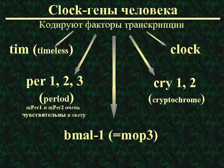Clock-гены человека Кодируют факторы транскрипции tim (timeless) per 1, 2, 3 (period) m. Per