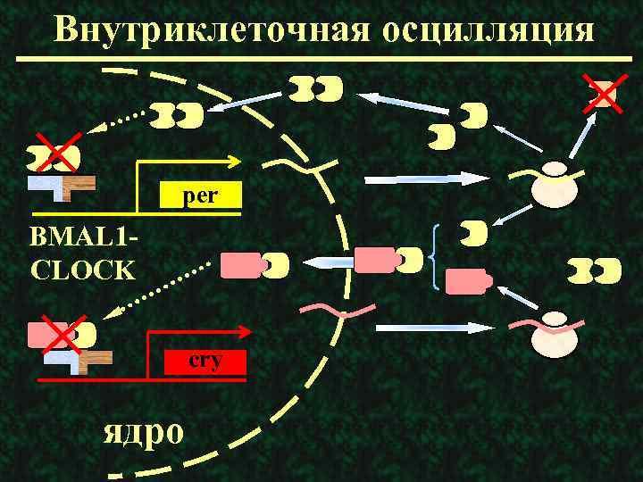 Внутриклеточная осцилляция per BMAL 1 CLOCK cry ядро