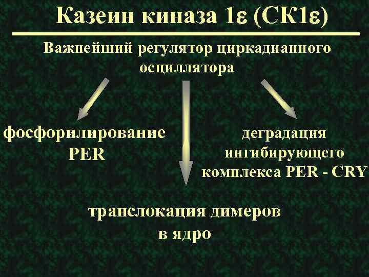 Казеин киназа 1 e (СК 1 e) Важнейший регулятор циркадианного осциллятора фосфорилирование PER деградация
