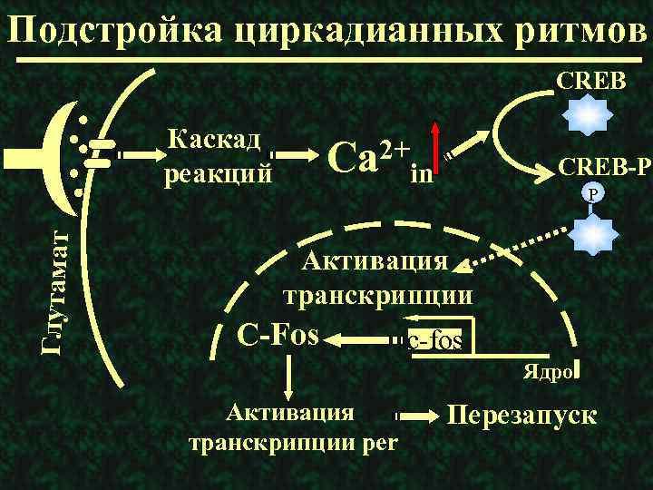 Подстройка циркадианных ритмов CREB Глутамат Каскад реакций 2+ Ca CREB-P in P Активация транскрипции