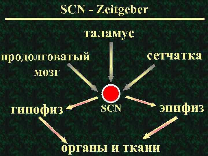 SCN - Zeitgeber таламус сетчатка продолговатый мозг гипофиз SCN эпифиз органы и ткани
