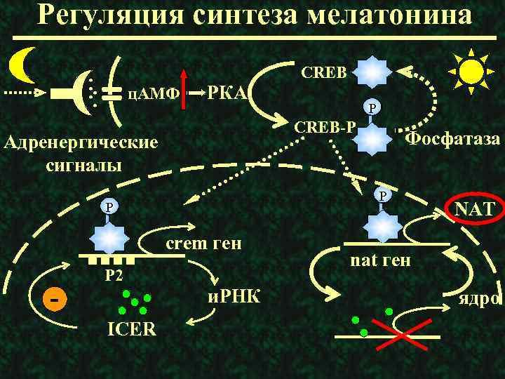 Регуляция синтеза мелатонина ц. АМФ РКА Фосфатаза P P crem ген Р 2 и.