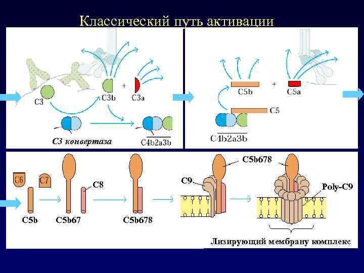 Классический путь активации C 3 конвертаза C 5 b 678 C 9 С 8