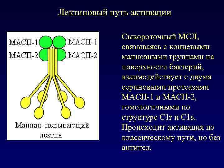 Лектиновый путь активации Сывороточный МСЛ, связываясь с концевыми маннозными группами на поверхности бактерий, взаимодействует