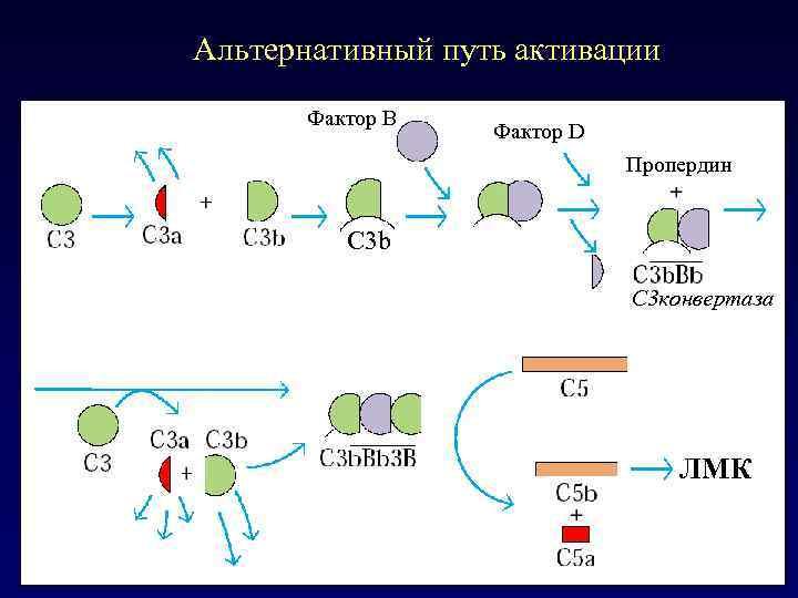 Альтернативный путь активации Фактор В Фактор D Пропердин C 3 b C 3 конвертаза