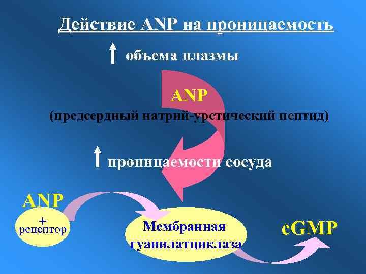 Действие ANP на проницаемость объема плазмы ANP (предсердный натрий-уретический пептид) проницаемости сосуда ANP +