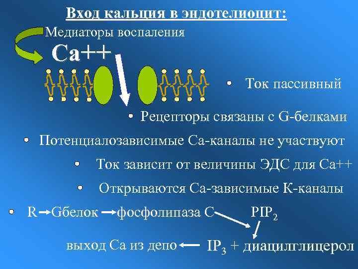 Вход кальция в эндотелиоцит: Медиаторы воспаления Са++ Ток пассивный Рецепторы связаны с G-белками Потенциалозависимые