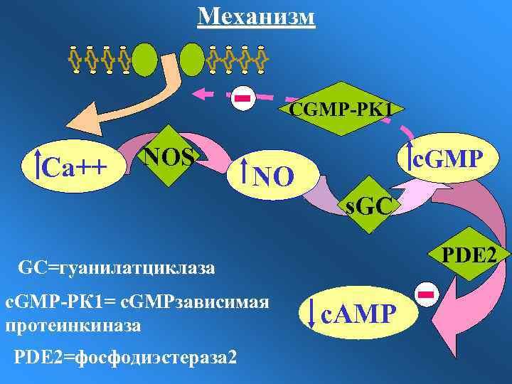 Механизм CGMP-PK 1 Са++ NOS NO c. GMP s. GC PDE 2 GC=гуанилатциклаза c.