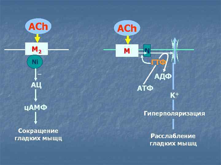 ACh М 2 М Ni N ГТФ _ АЦ ц. АМФ Сокращение гладких мыщц