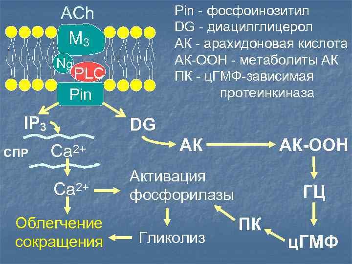 Pin - фосфоинозитил DG - диацилглицерол АК - арахидоновая кислота АК-ООН - метаболиты АК