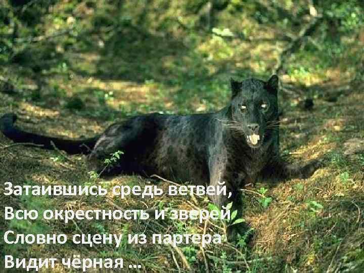 Затаившись средь ветвей, Всю окрестность и зверей Словно сцену из партера Видит чёрная …