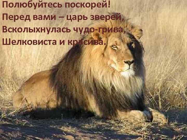 Полюбуйтесь поскорей! Перед вами – царь зверей, Всколыхнулась чудо-грива, Шелковиста и красива.