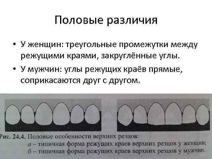Половые различия • У женщин: треугольные промежутки между режущими краями, закруглённые углы. • У