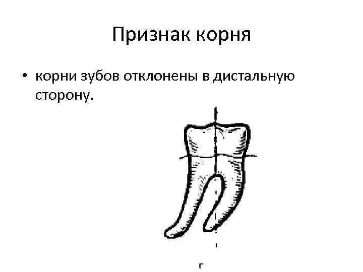 Признак корня • корни зубов отклонены в дистальную сторону.