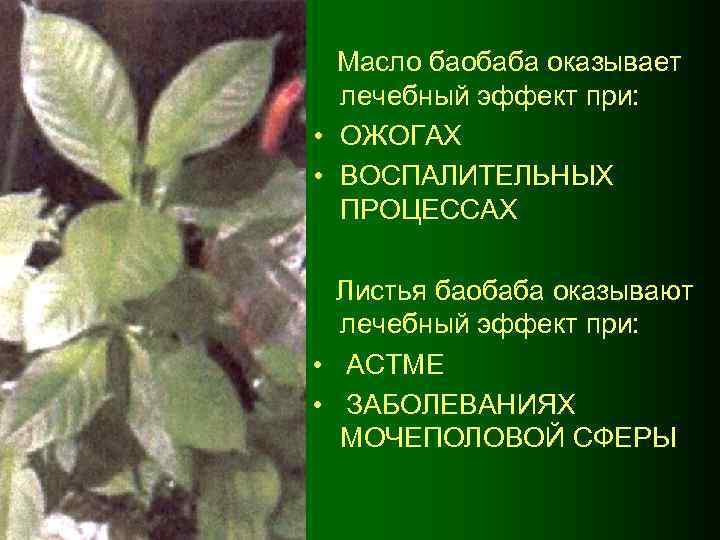 Масло баобаба оказывает лечебный эффект при: • ОЖОГАХ • ВОСПАЛИТЕЛЬНЫХ ПРОЦЕССАХ Листья баобаба оказывают