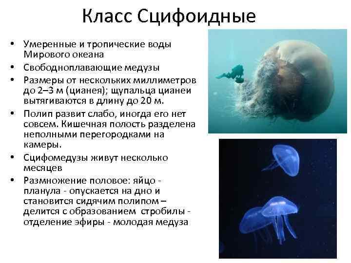 Гдз Класс Сцифоидные Медузы Общая Характеристика Таблица