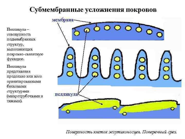 Субмембранные усложнения покровов мембрана Пелликула – совокупность подмембранных структур, выполняющих покровно-скелетную функцию. Пелликула представлена
