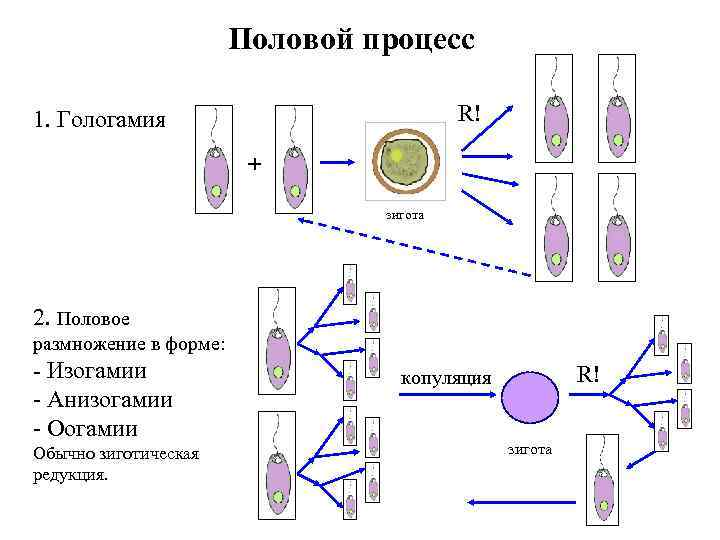 Половой процесс R! 1. Гологамия + зигота 2. Половое размножение в форме: - Изогамии
