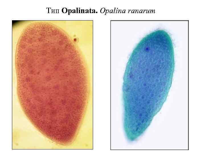 Тип Opalinata. Opalina ranarum