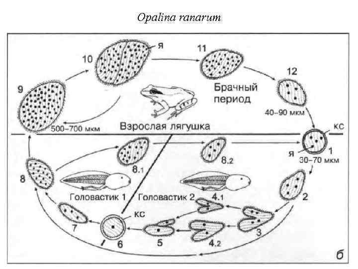 Opalina ranarum