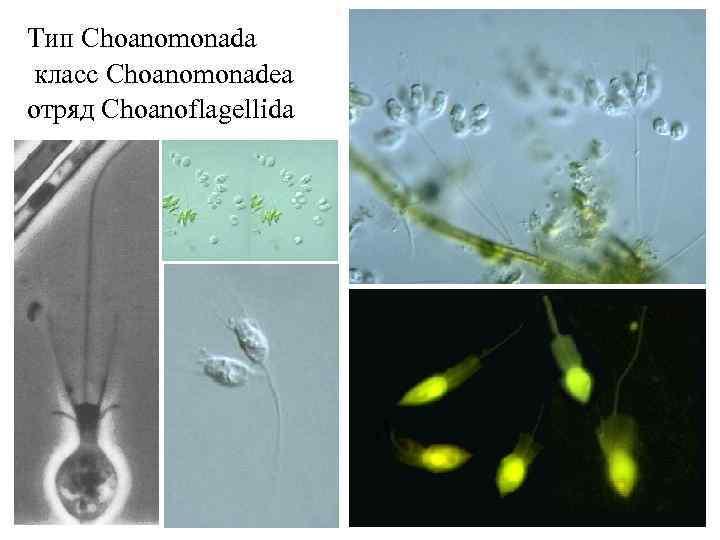 Тип Choanomonada класс Сhoanomonadea отряд Choanoflagellida