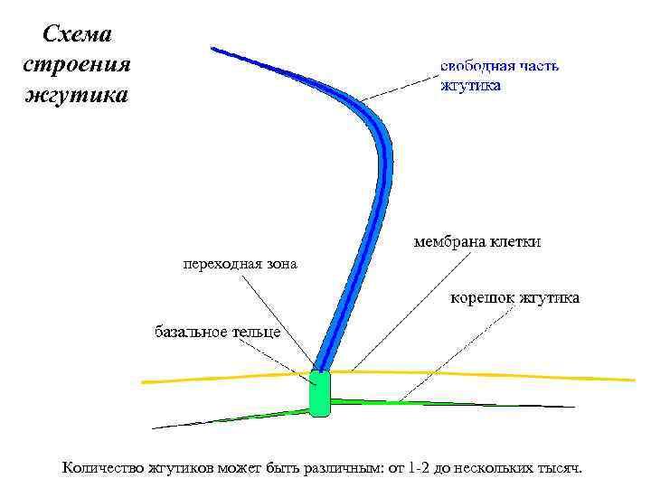 Схема строения жгутика переходная зона Количество жгутиков может быть различным: от 1 -2 до