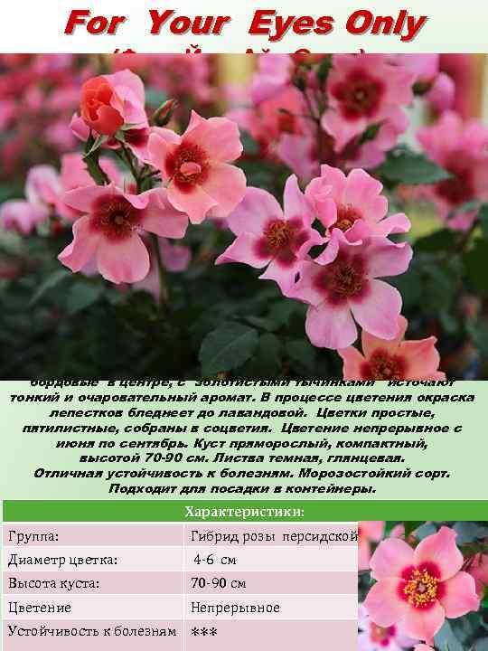 For Your Eyes Only (Фор Йор Айз Онли) Цветки с открытыми большими лепестками удивительных