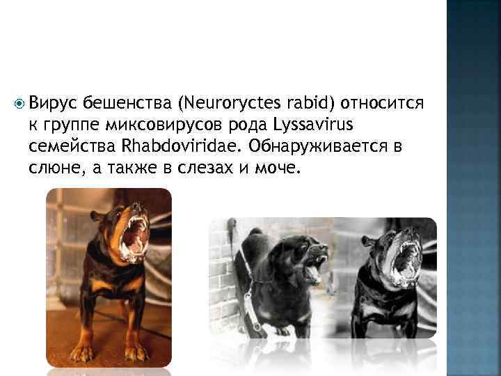 Вирус бешенства (Neuroryctes rabid) относится к группе миксовирусов рода Lyssavirus семейства Rhabdoviridae. Обнаруживается