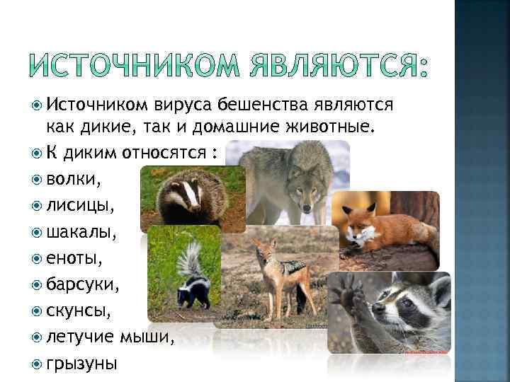 Источником вируса бешенства являются как дикие, так и домашние животные. К диким относятся