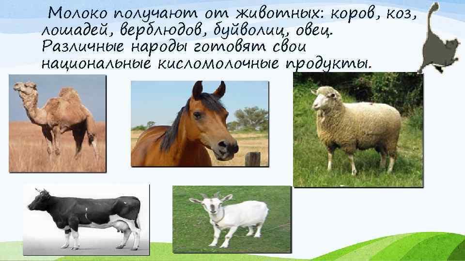 Молоко получают от животных: коров, коз, лошадей, верблюдов, буйволиц, овец. Различные народы готовят свои