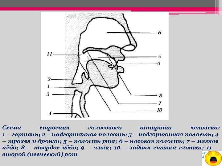 Схема строения голосового аппарата человека: 1 – гортань; 2 – надгортанная полость; 3 –