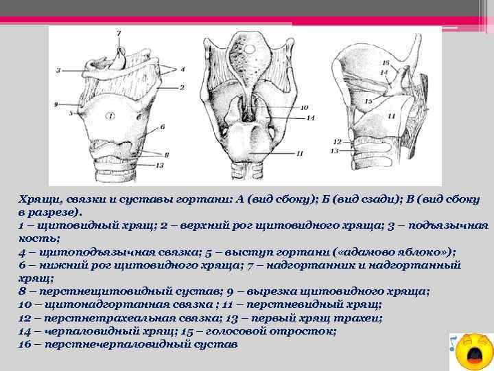 Хрящи, связки и суставы гортани: А (вид сбоку); Б (вид сзади); В (вид сбоку