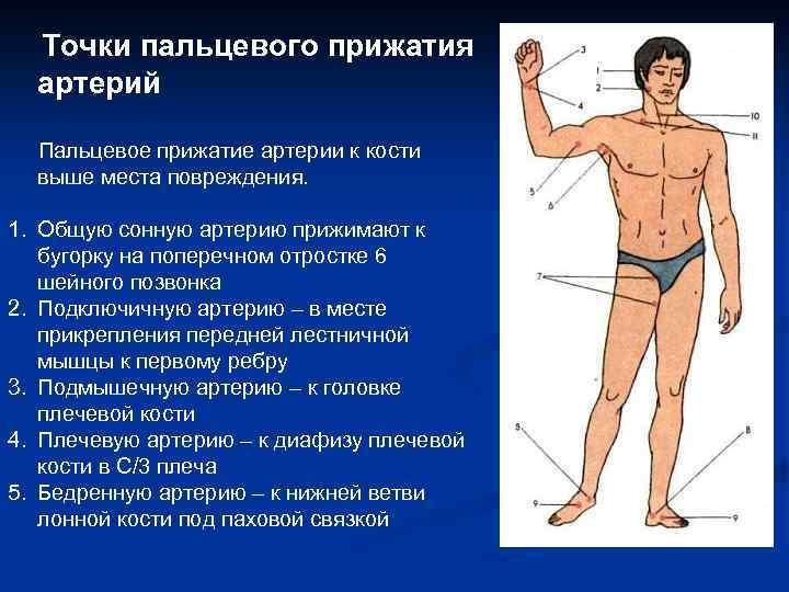 Точки пальцевого прижатия артерий Пальцевое прижатие артерии к кости выше места повреждения. 1. Общую