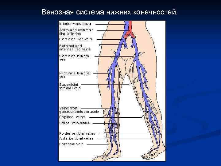 Венозная система нижних конечностей.