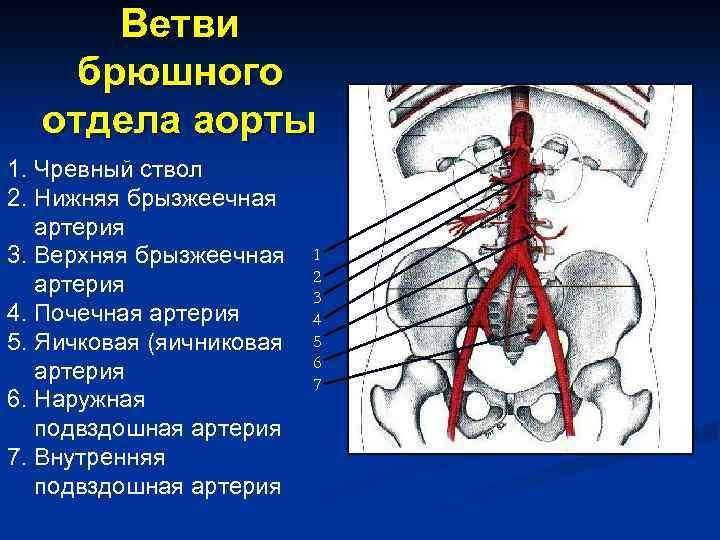 Ветви брюшного отдела аорты 1. Чревный ствол 2. Нижняя брызжеечная артерия 3. Верхняя брызжеечная