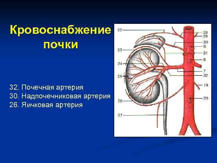 Кровоснабжение почки 32. Почечная артерия 30. Надпочечниковая артерия 26. Яичковая артерия