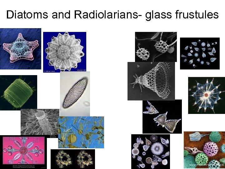 Diatoms and Radiolarians- glass frustules