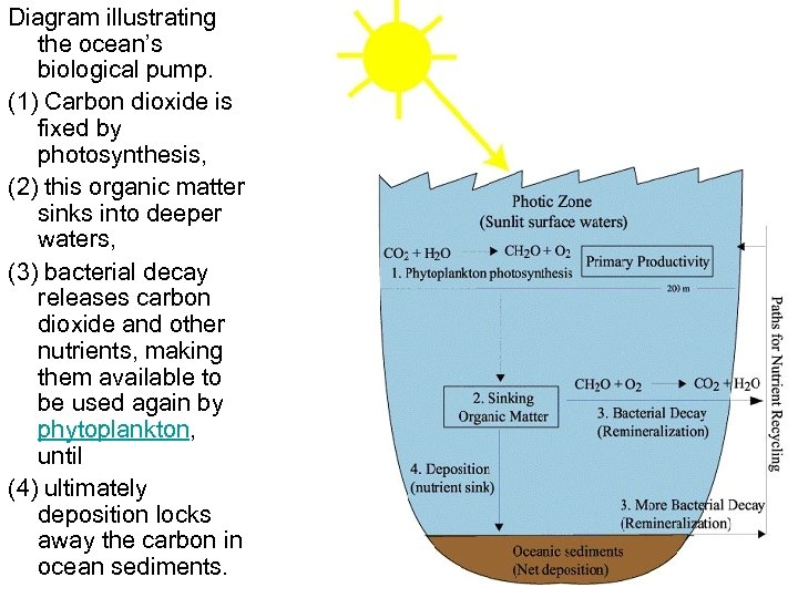 Diagram illustrating the ocean's biological pump. (1) Carbon dioxide is fixed by photosynthesis, (2)