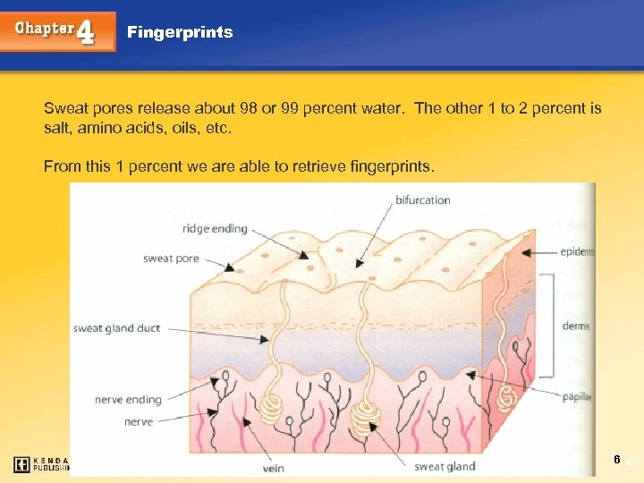 Fingerprints Sweat pores release about 98 or 99 percent water. The other 1 to